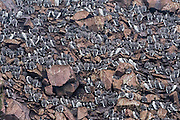 Colony of Common Murre - Uria aalge on the side of the cliff