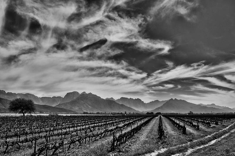 The Start of the Wine Season, South Africa. 8&quot;x12&quot; $50.00 CAD<br />