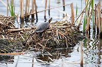 Painted turtle (Chrysemys picta) resting on a muskrat lodge, French Basin trail, Annapolis Royal, Nova Scotia, Canada,