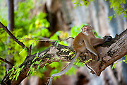 Crab-eating macaque, Railay, Thailand