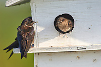 Purple Martin (Progne subis), on nesting box Wakodahatchee Wetlands, Delray Beach, Florida   Photo: Peter Llewellyn