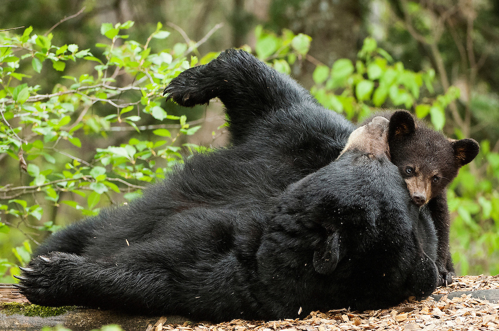 USA, Vince Shute Wildlife Sanctuary (MN).Black bear (Ursus americanus) sow play-fighting with cub