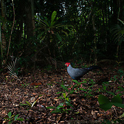 The Siamese fireback (Lophura diardi) also known as Diard's fireback is a fairly large pheasant. This species is also designated as the national bird of Thailand