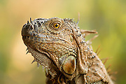 Iguana Portrait<br /> <br /> Available sizes:<br /> 12&quot; x 18&quot; print <br /> <br /> See Pricing page for more information Also available as a mousepad or greeting cards.