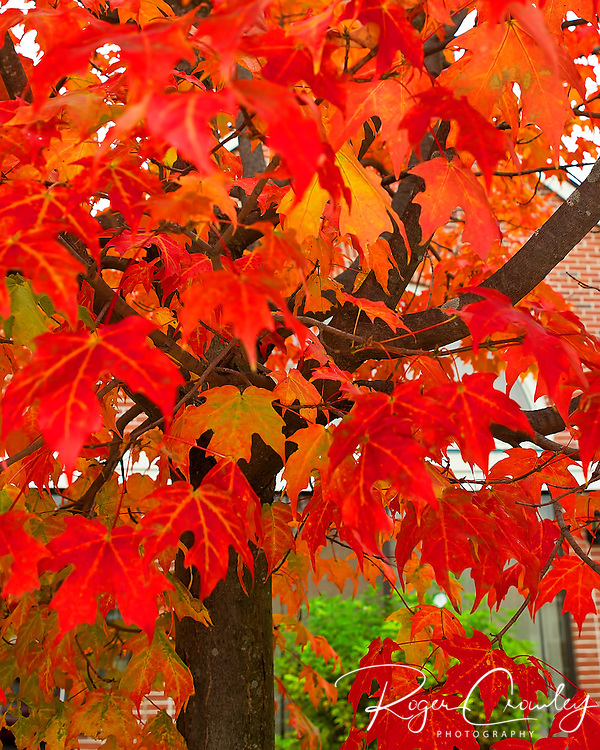 Roger Crowley / CrowleyPhotos.com..A small maple tree shows its colors in Montpelier Vermont...