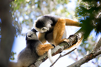 Two lemurs, Magical Madagascar Photo Tour. Wildlife and nature photography prints for sale.