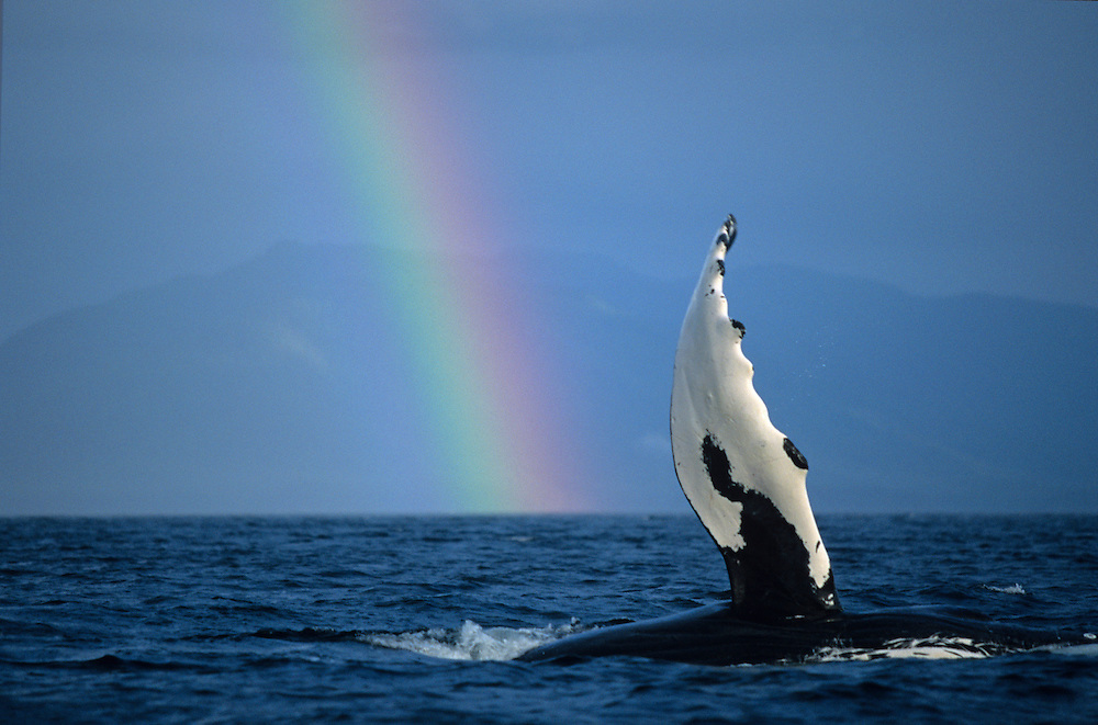 Alaska, Tongass National Forest, Humpback Whale (Megaptera novaengliae) slapping flippers by rainbow in Frederick Sound