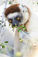 Larvensifaka (Propithecus verreauxi), Berenty, Madagaskar<br /> <br /> A Verreaux's sifaka (Propithecus verreauxi) is feeding on leaves, Berenty, Madagascar