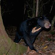 Sun bear (Helarctos malayanus) in Kaeng Krachan National Park, Thailand.
