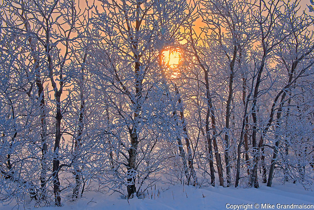 Poplar trees covered in hoarfrost at sunrise<br />