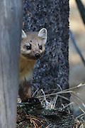 American (Pine) Marten in Habitat