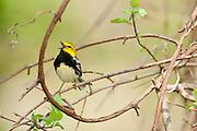 Black-throated Green Warbler, Setophagavirens, male singing, Magee Marsh, Ohio