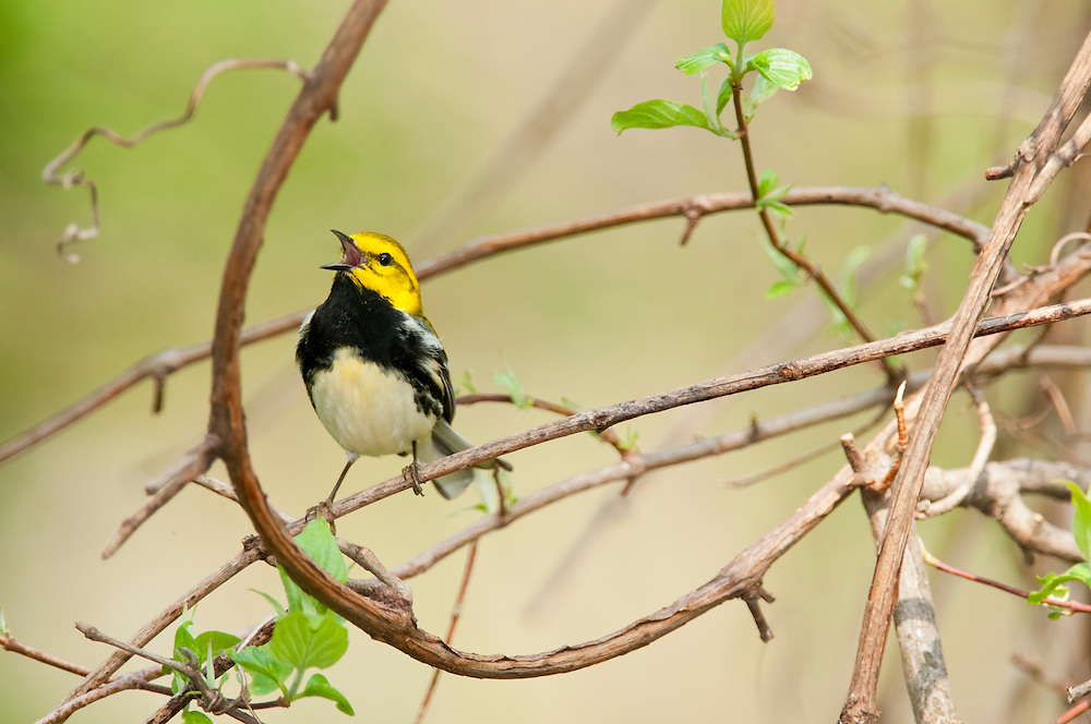 Black-throated Green Warbler, Setophaga virens, male singing, Magee Marsh, Ohio