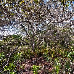 """Árvore na Aberta de Clúsia (paisagem) fotografado em Guarapari, Espírito Santo -  Sudeste do Brasil. Bioma Mata Atlântica. Registro feito em 2008.<br /> <br /> <br /> <br /> ENGLISH: Tree in the open of Clusia photographed in Guarapari, Espírito Santo - Southeast of Brazil. Atlantic Forest Biome. Picture made in 2008."""