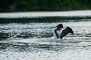 Common loon (Gavia immer) on Cassels Lake<br /><br />Ontario<br />Canada