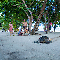 Green Turtle on resort beach to lay eggs, Pom Pom Island, Sabah, Borneo, East Malaysia, South East Asia