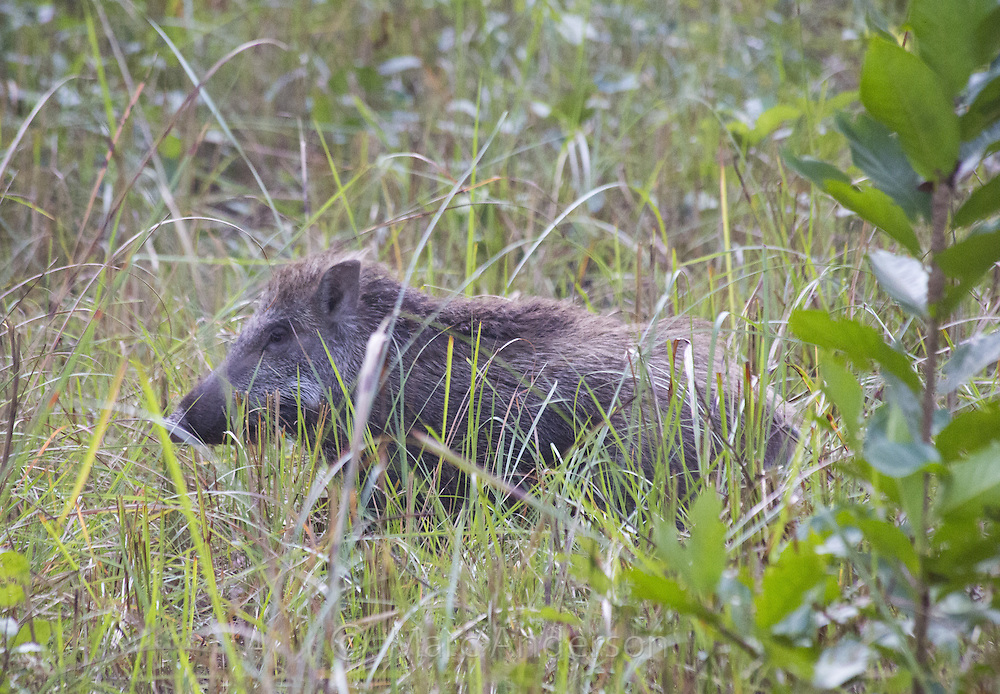 Indian Wild Boar (Sus scrofa cristatus), Bardia National Park, Nepal