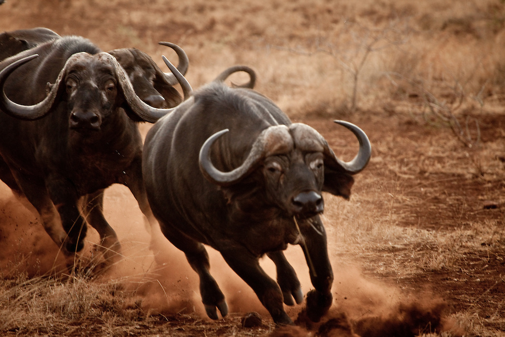 Buffalo charging in Meru National Park, Kenya