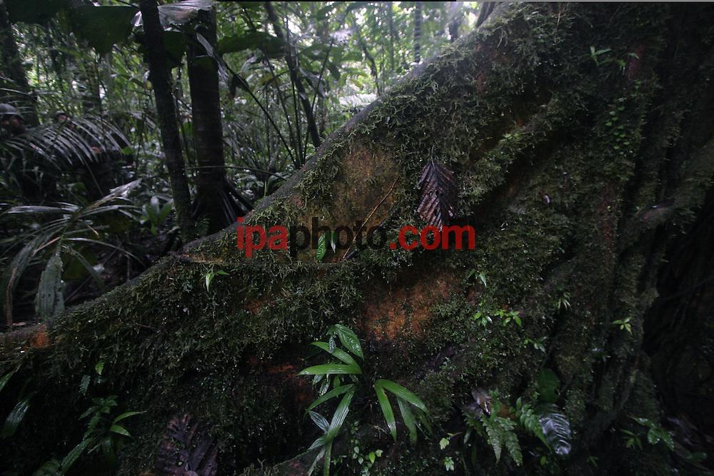 SUCUMBIOS, ECUADOR JUNIO/03/2008.Interior de la Selva Madre, en la provincia de Sucumbíos al nororiente del Ecuador, fotografiado el 03 de Junio de 2008..(Photo by IPAPHOTO.COM)