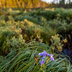 "A blue flag iris, Iris versicolor, in the Cold Stream ""deadwater"" above Upper Cold Stream Falls in Maine's Northern Forest. Johnson Mountain Township."