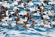 Common Eiders, Somateria mollissima, & King Eider, Somateria spectabilis, Barents Sea, Norway
