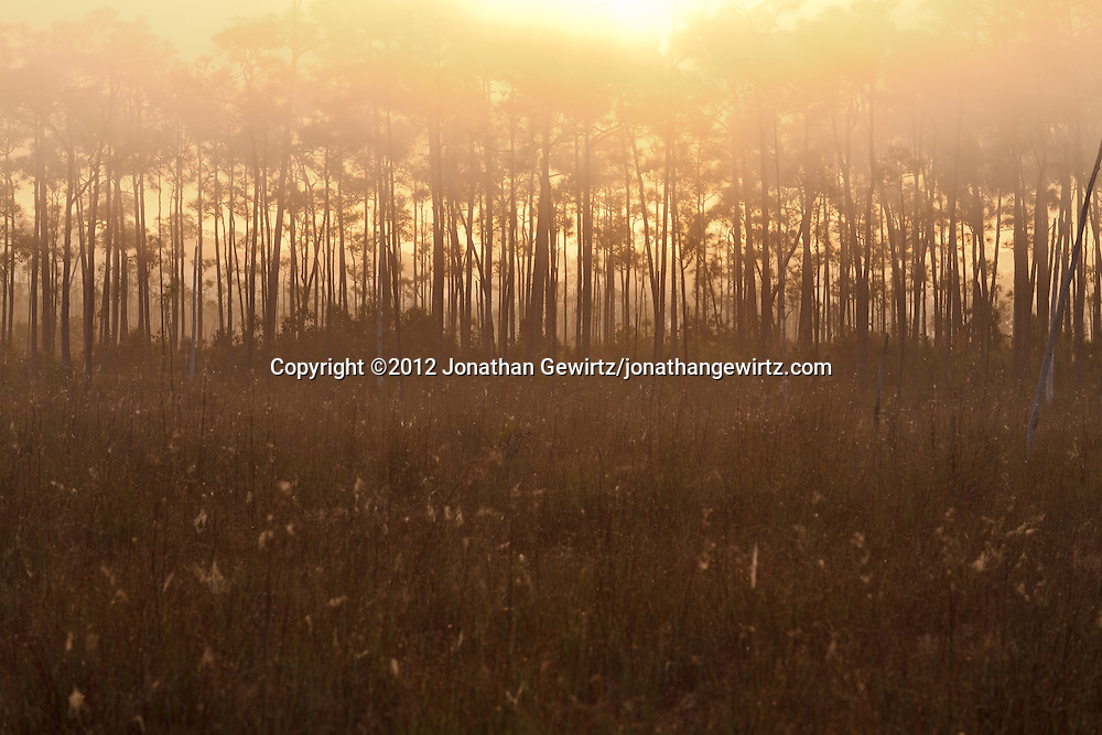The rising sun imparts a golden glow to a pine hammock and sawgrass meadow on a foggy morning in Everglades National Park, Florida. WATERMARKS WILL NOT APPEAR ON PRINTS OR LICENSED IMAGES.