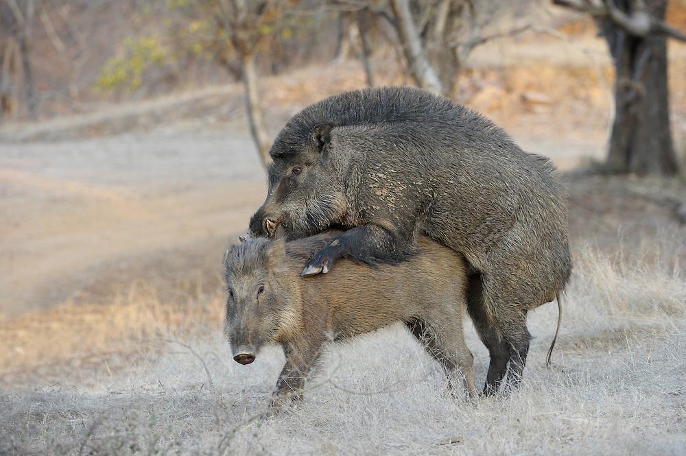 Wildschweinpaarung im Ranthambore National Park, Indien