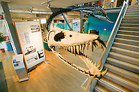 The famous Elasmosaur originally discovered by Pat Trask on the Puntledge River in the Comox Valley, regularly attracts Paleontologists and fossil hunters alike from around North America and the world.  Comox Valley, Vancouver Island, British Columbia, Canada.