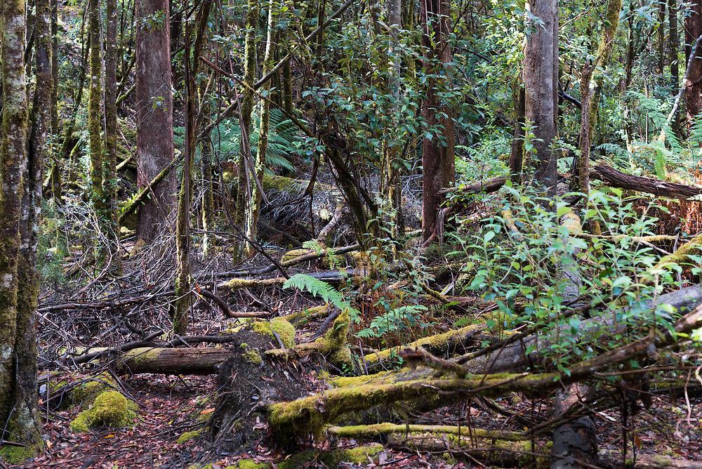 Fallen trees, underbrush, green vines, and tall growing trees in the Tasmanian rain forest.