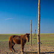 Horse tethered to wooden post in desert (, Mongolia - Sep. 2008) (Image ID: 080906-1757271a)
