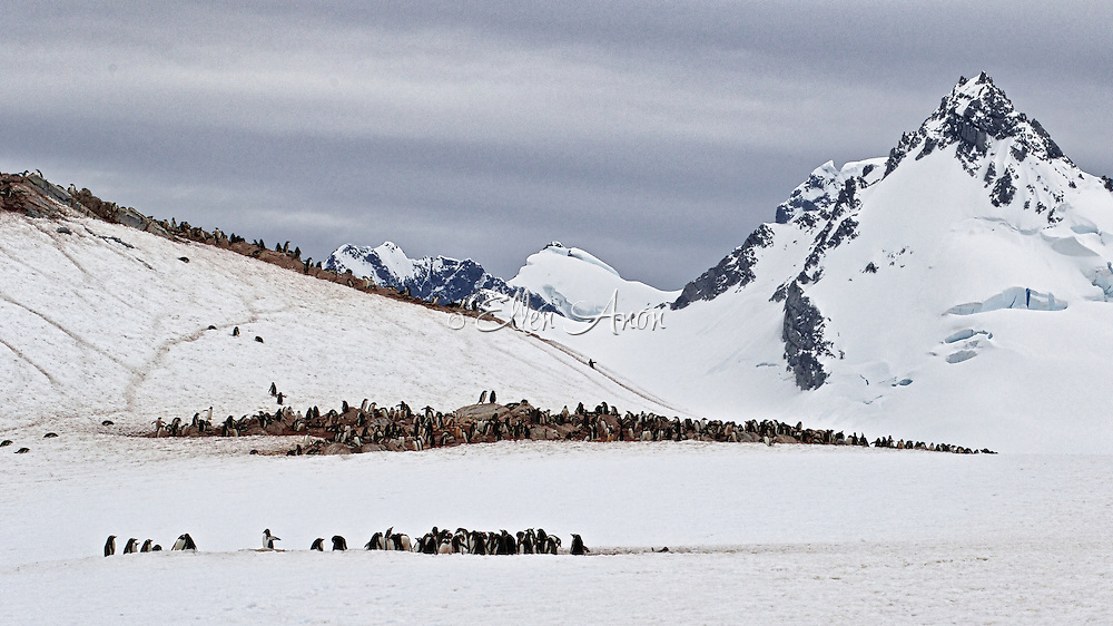 Cuverville Island, Gentoo penguin colony, Antarctica