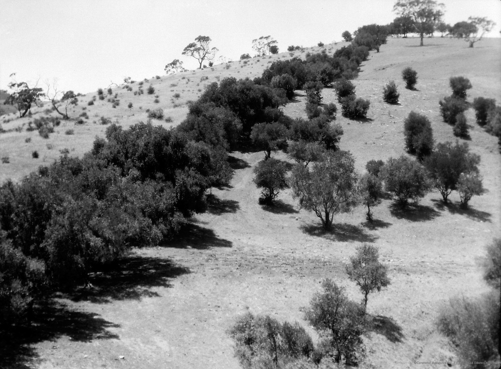 Olive Trees, Mount Lofty Ranges, near Adelaide, South Australia, 1930