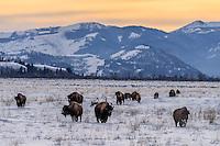 Bisonherde im Grand Teton Nationalpark, USA