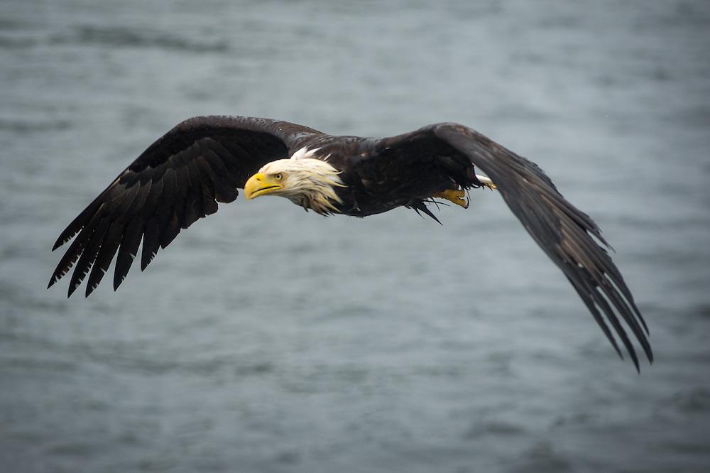 A bald head eagle outside of Ketchikan, Alaska