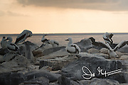 Nazca booby colony on Española island in the Galapagos archipelago of Ecuador.