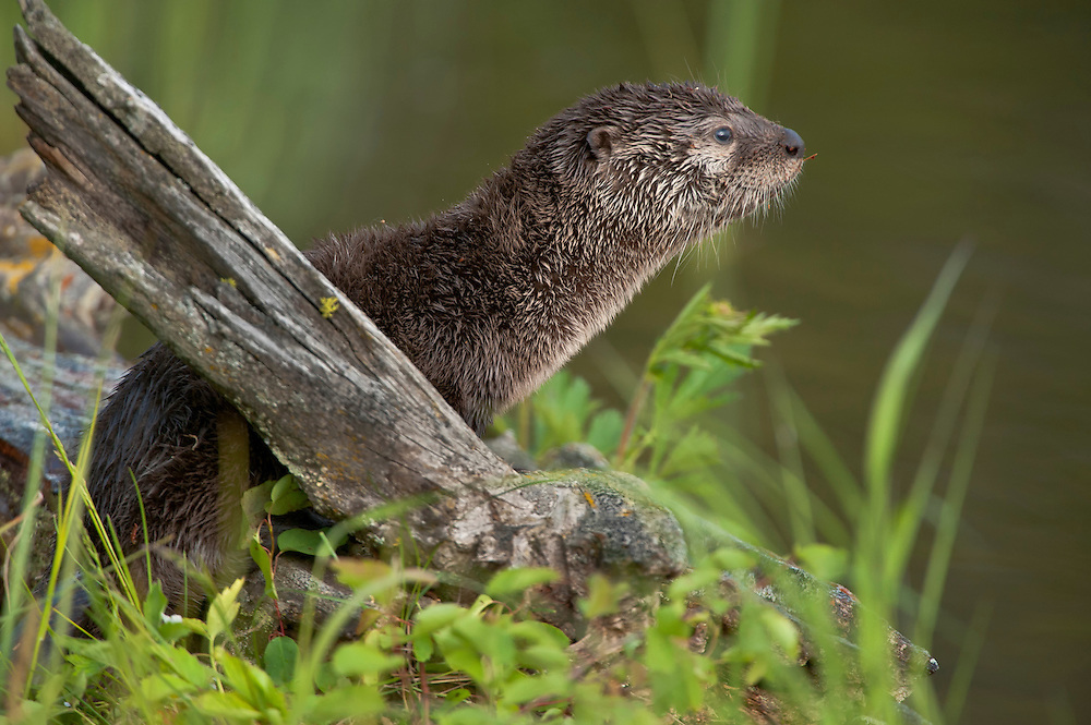 A Northern River Otter pup cranes his neck, searching for his mother.
