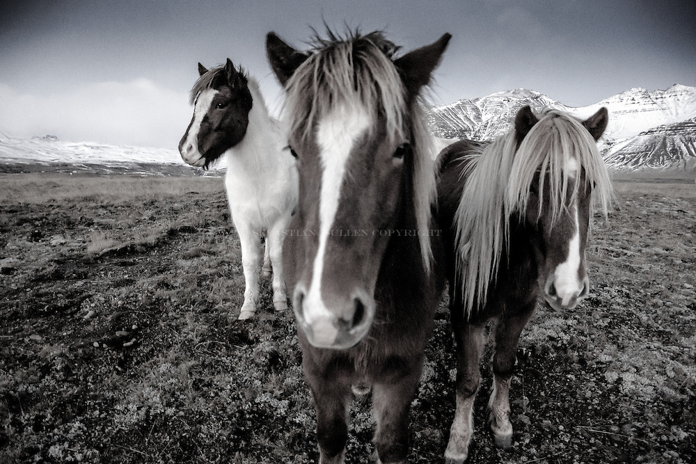 Icelandic horses only love you if they trust you. Otherwise the look at you from a distance.