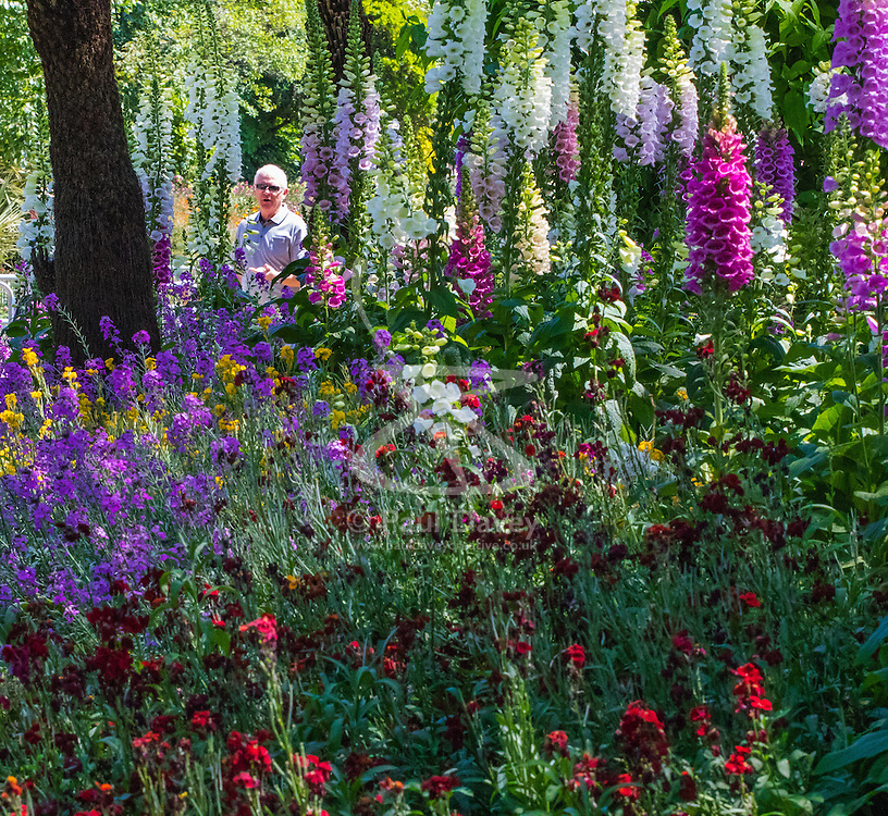 St James's Park, London, June 6th 2016. A man admires the display flowers in St James's Park as London basks in glorious summer sunshine with highs of 24º expected.