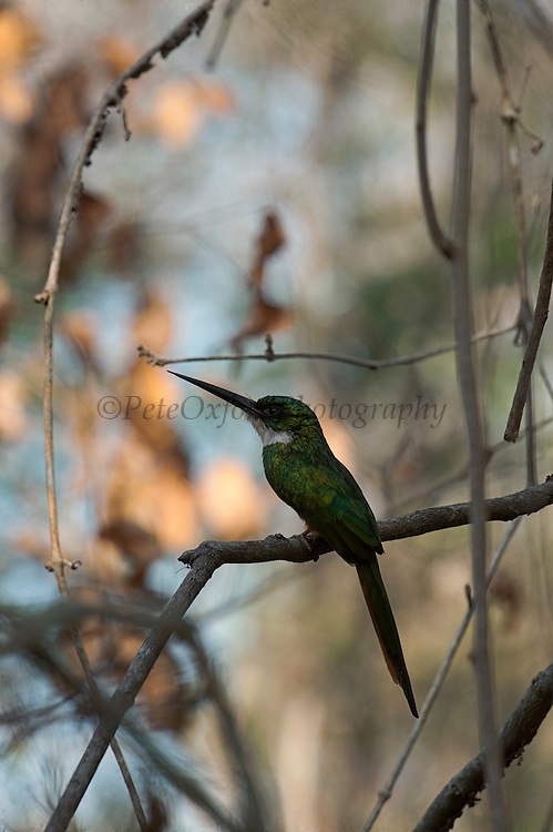 Rufous-tailed Jacamar (Galbula ruficauda)<br /> Rupununi<br /> GUYANA<br /> South America<br /> RANGE: Southern Mexico, Central America and South America as far south as southern Brazil and Ecuador