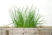 chives in a wooden homemade window pot