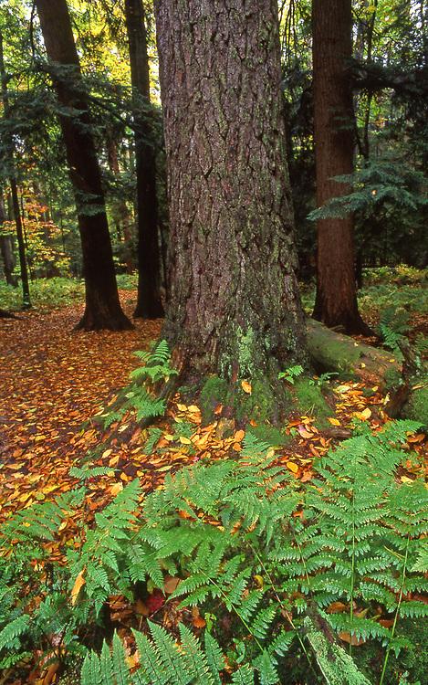 Virgin hemlock, ferns, Allegheny National Forest, Pennsylvania