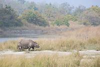 Greater One-horned Rhinoceros in Bardia National Park, Nepal