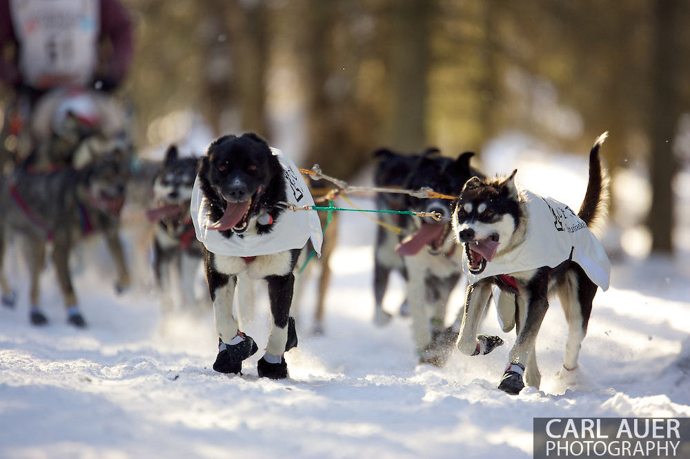 March 7th, 2009:  Anchorage, Alaska - The team of Robert Bundtzen of Anchorage speeds through the woods near the Alaska Native Hospital during the 2009 Iditarod.