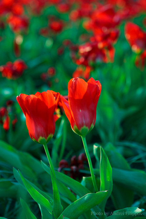 Red tulips blooming at Ottawa annual tulip festival. May 11, 2011.
