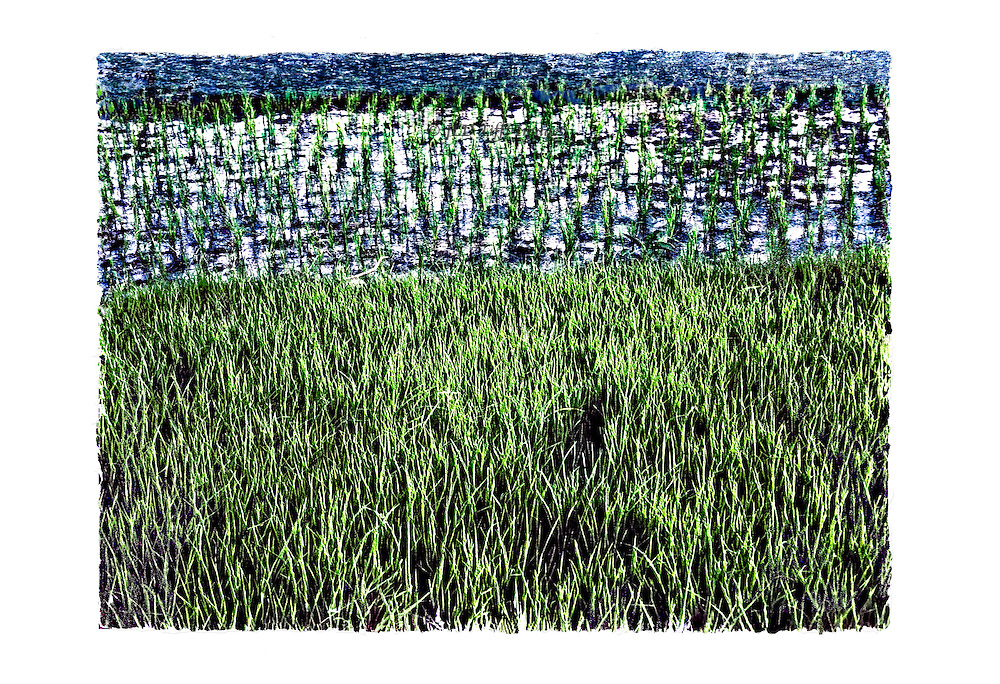 View of a rice field near Dhaka showing three stages of growth of the rice plants: green grass, shoots emerging from the water, and water in a design and pattern of three horizontal areas