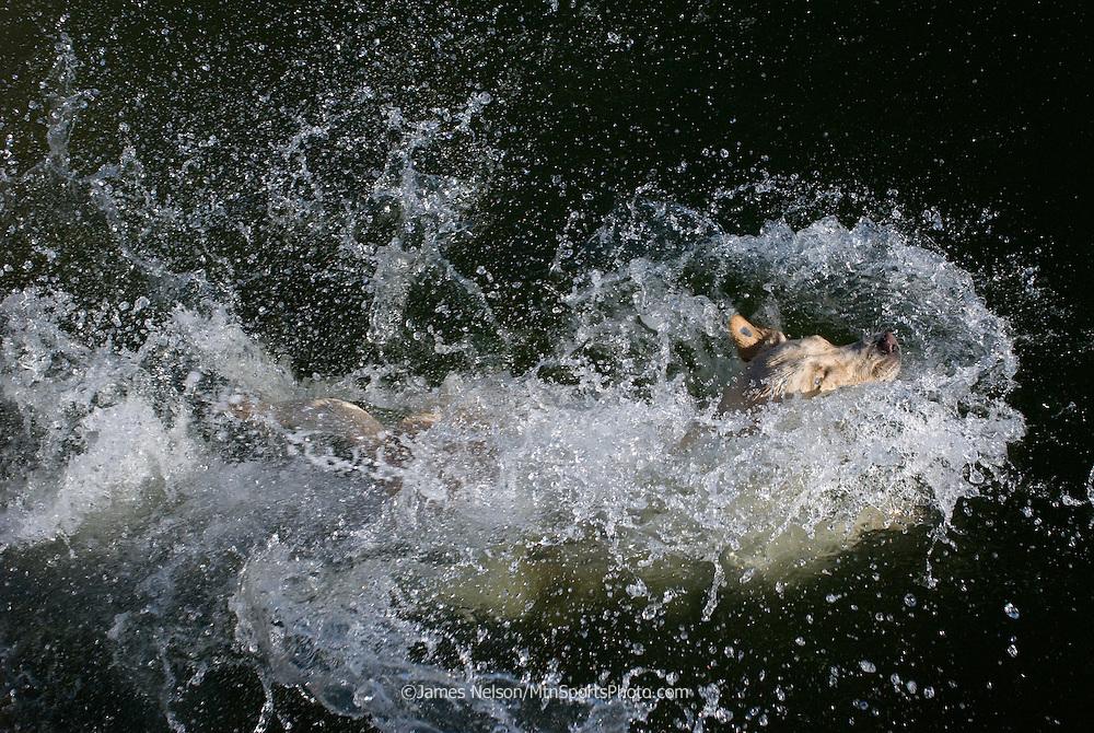 A yellow Labrador retriever hits the water.