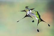 Booted Racket-tails, Ocreatus underwoodii, male, Nanegalito, Ecuador