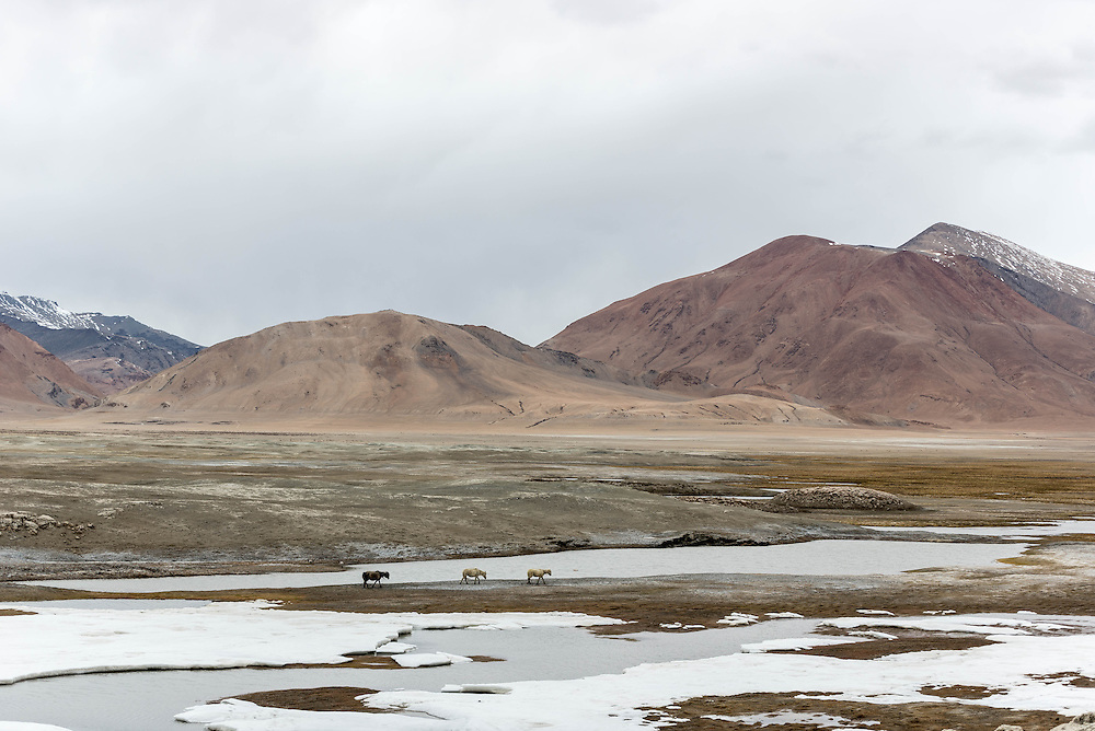 Horses moving away from an incoming storm near Tso Kar, Ladakh