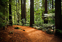 Richard Furhoff 100101_NewZealand_DSC3541_FINAL.tif.Pathway through Redwoods forest, near Rotorua..