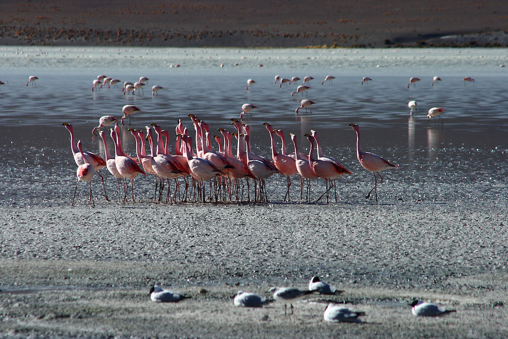 Flamingos can be found in many of the lakes in the Bolivian Altiplano - these ones are in the rather windswept Laguna Hedionda, where there is a small collection of buildings, including a hostel. Here a group of them take part in a kind of dance, all facing the same direction and moving together